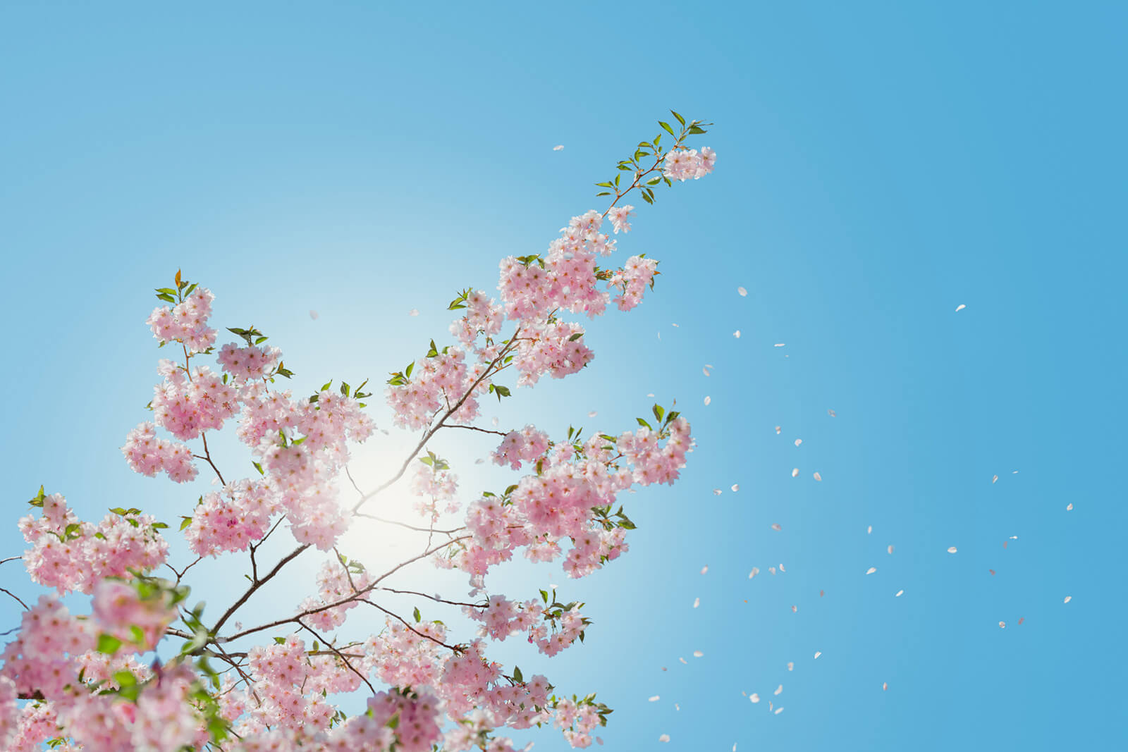 Cherry blossom with blue sky.