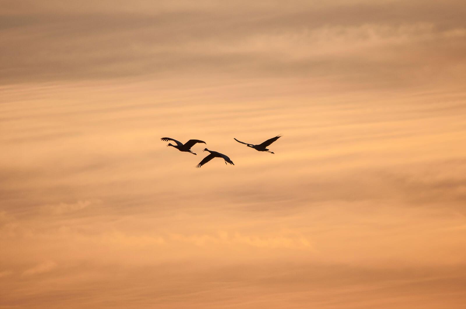 Bando de pássaros a voar ao pôr-do-sol.